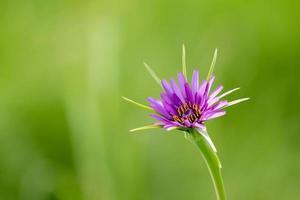 närbild av lila salsify blomma foto