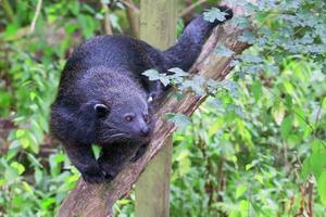 bearcat - binturong promenader på en gren mot kameran foto