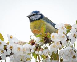 blå tit fågel på gren foto