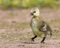 grå gosling promenader foto
