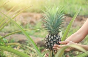 person som skördar en ananas foto