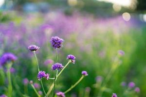 verbena blommor i vårträdgården foto