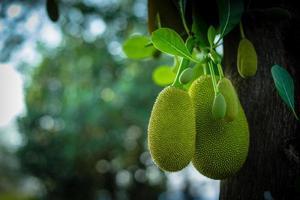 jackfrukter som hänger på träd i trädgården foto
