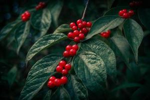 röda bär på en gren foto