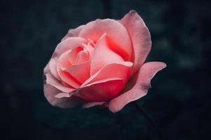rosblomma på suddig bakgrund för dag foto
