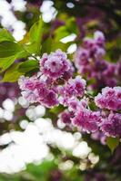 vårblomma av sakura träd foto
