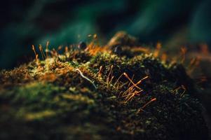 makro mossa i skogen foto
