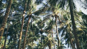 kokosnötträd på en ö, Filippinerna foto