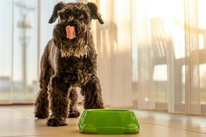 liten svart hund slickar munnen efter måltiden foto
