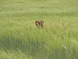 Rhodesian ridgeback spelar ute i högt gräs foto