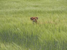 Rhodesian ridgeback spelar ute i gräset foto