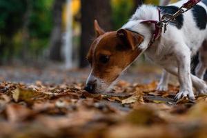 jack russell terrier som drar i koppel foto
