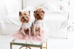 två yorkshire terrier som poserar i en studio