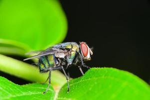 chrysomya megacephala fluga foto