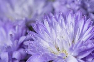 lila blomma med daggdroppar