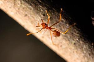 makro myra hänger från trädet foto