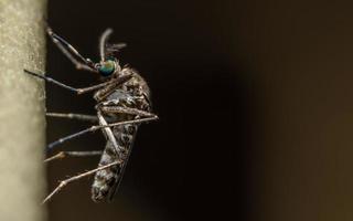 mygga på nära håll