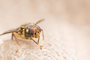 närbild drosophila melanogaster