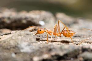 makro röd myra på nära håll foto