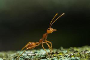 närbild av röd myra foto