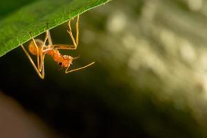 röd myra på bladet foto