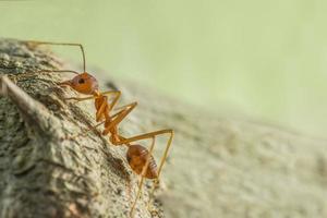 röd myra klättrar träd foto