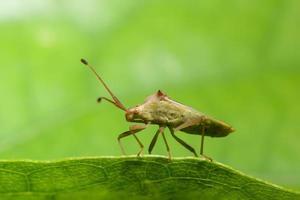 närbild av brunt mördare bug på blad foto