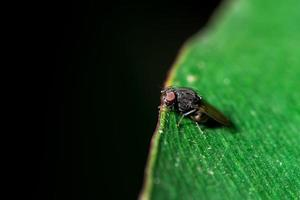 drosofila fluga på ett blad