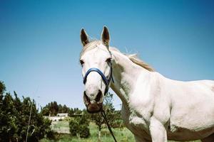 vit häst tittar på kameran foto