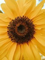 närbild av solros foto