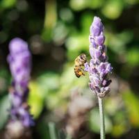 makro av honungbi på lavendel foto