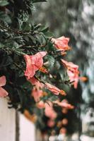 rad med rosa hibiskusblommor foto