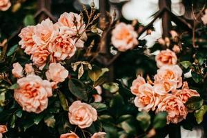 blommande rosor i trädgården
