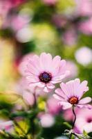 rosa osteospermum blommor