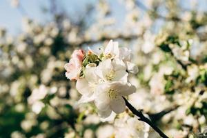 vit äppelblomma foto