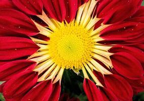 röd och gul blomma foto