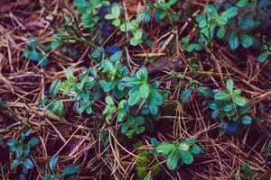 liten lummig växt foto