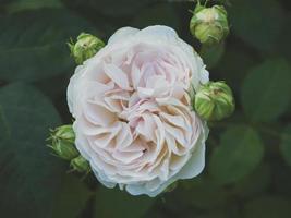 närbild av rosa pion foto