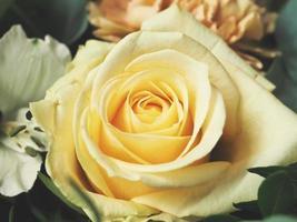 närbild av gul ros foto