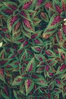 gröna och röda crotonväxter foto
