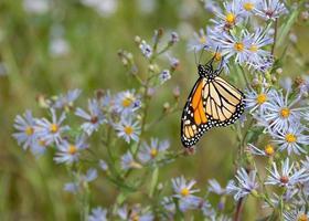 monarkfjäril på blommor foto