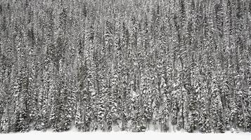 granträdskog i snö foto