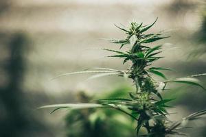 cannabisplantans blad och blommor i laboratorium foto