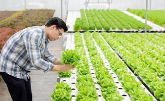 trädgårdsmästare växer sallad foto