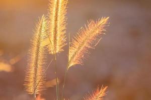 poaceae gräsblomma i strålarna av den stigande solnedgångbakgrunden.