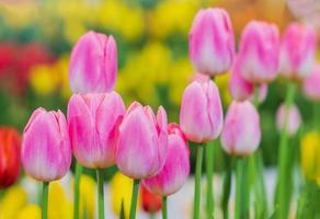 rosa tulpanblommor i trädgården foto