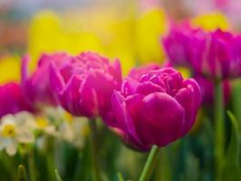 tulpaner som blommar i trädgården foto