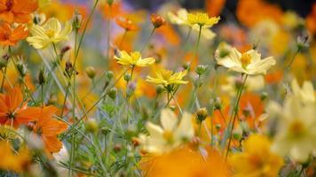 kosmosblommor som blommar i trädgården