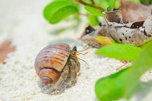 Eremitkrabba på stranden foto