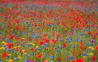 fält av vilda blommor foto